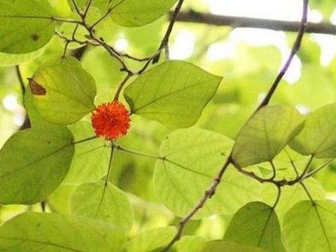 果子颜色艳丽被误认有毒,实则可直接食用,树皮功效更是不得了