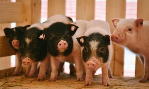 """《【万和城注册平台】猪肉板块近半个月蒸发2300亿,猪肉能否重回""""十元时代""""?》"""