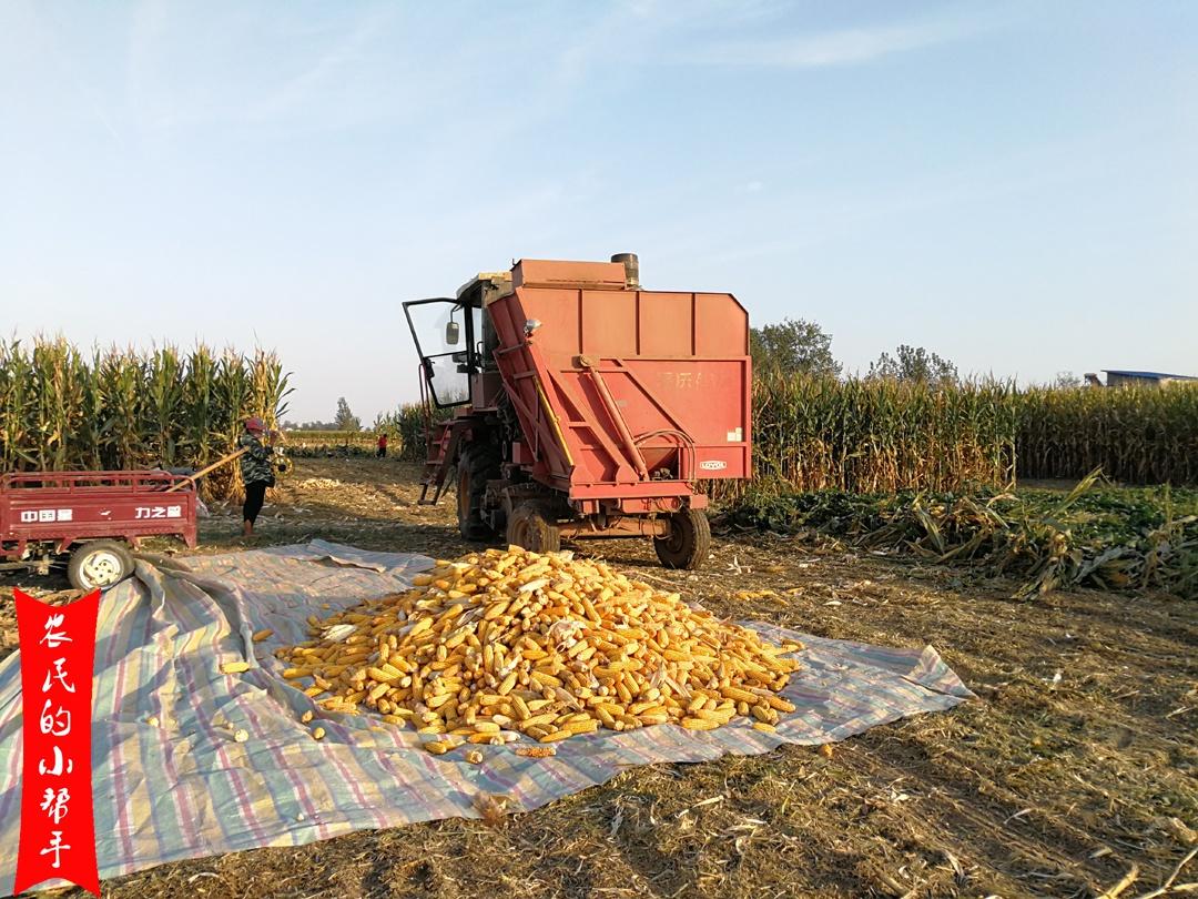 《【无极2官方登陆】算一笔账:卖带棒湿玉米和卖晒干玉米粒,亩收入哪种高?》
