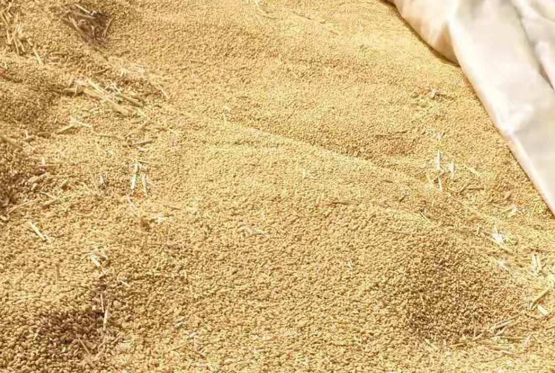 《【无极2娱乐网页登陆】小麦价格要大涨?年底能涨到1.4元?1个重要因素,大涨有难度》