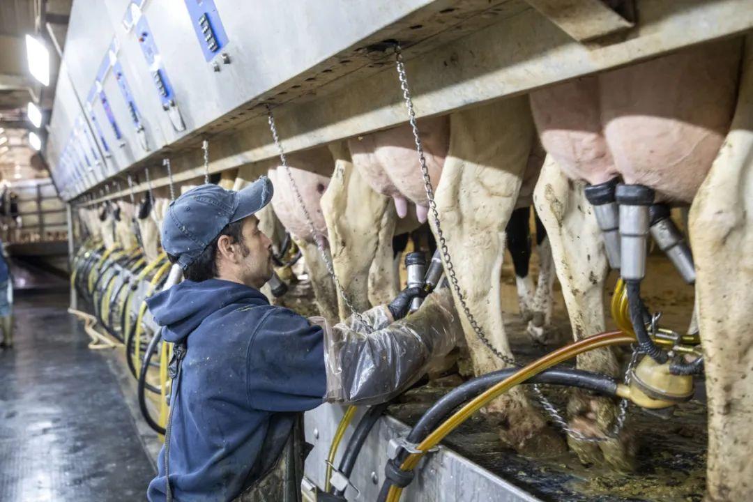 ▲原料图片:2019年10月16日,在美国艾奥瓦州的奶牛场里,工人造乳牛挤奶。(新华社记者 王迎 摄)