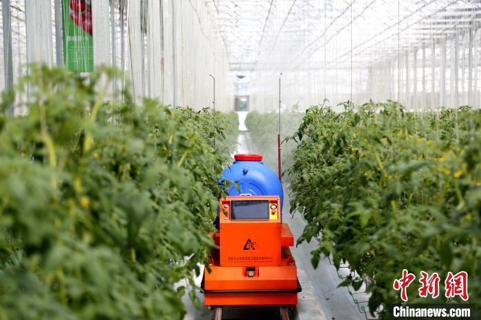 """在""""中国寿光型""""智能玻璃温室内有20多个机器人,可实现授粉、运输、喷药、巡检以及分拣自动化。沙见龙 摄"""