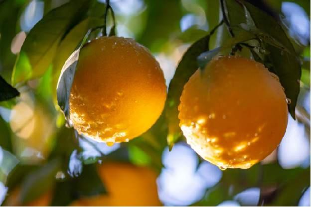 褚橙来了 11月01日正式开园采果