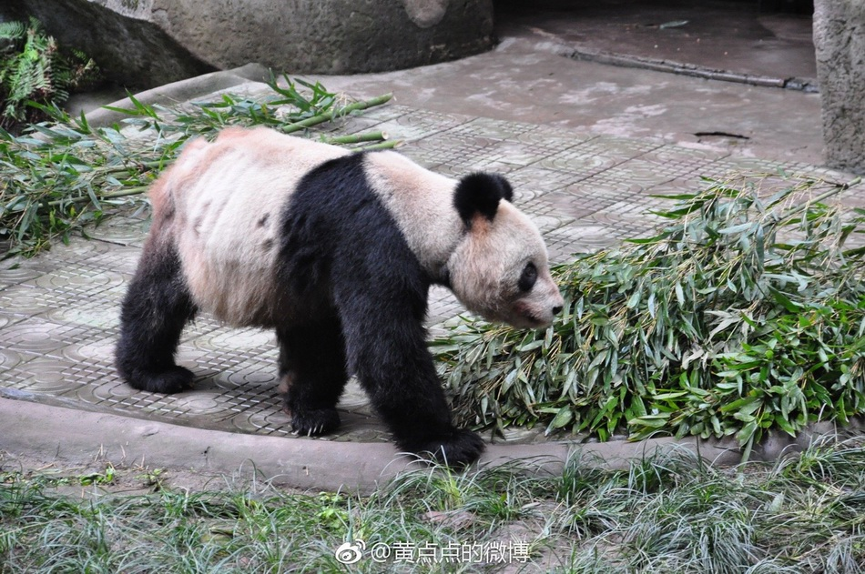 重庆动物园通报大熊猫灵灵。