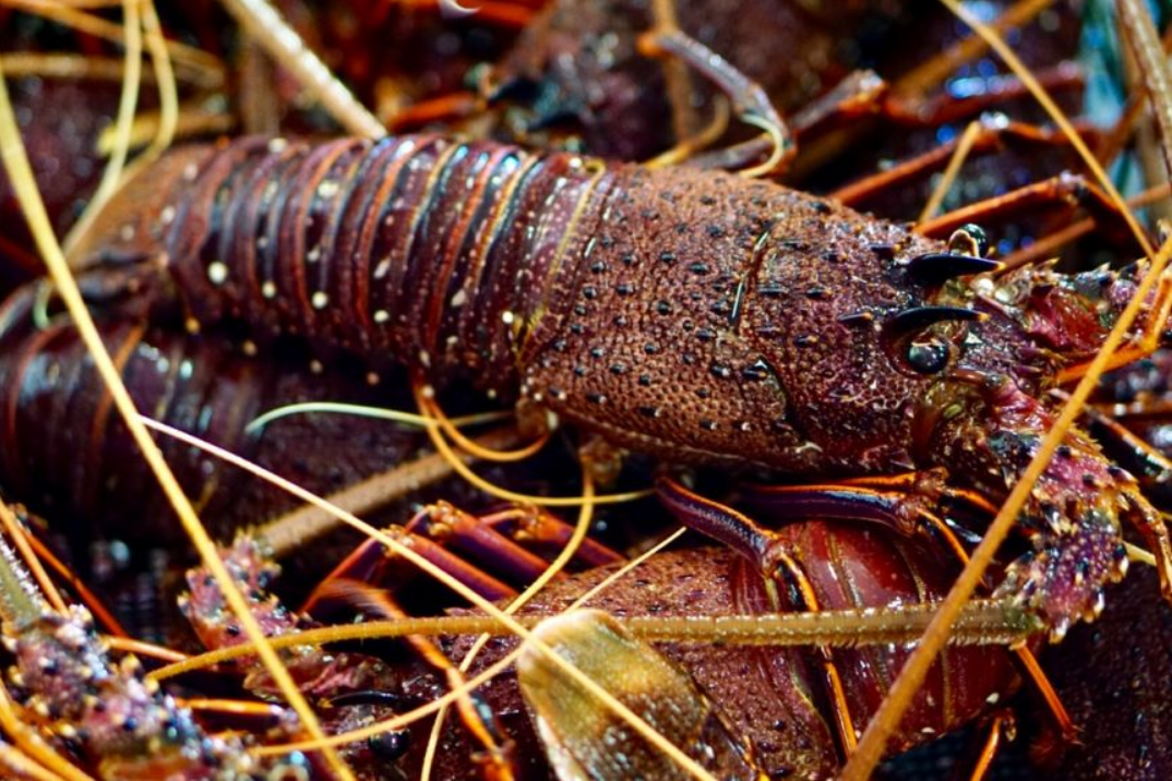 澳大利亚龙虾(原料图)