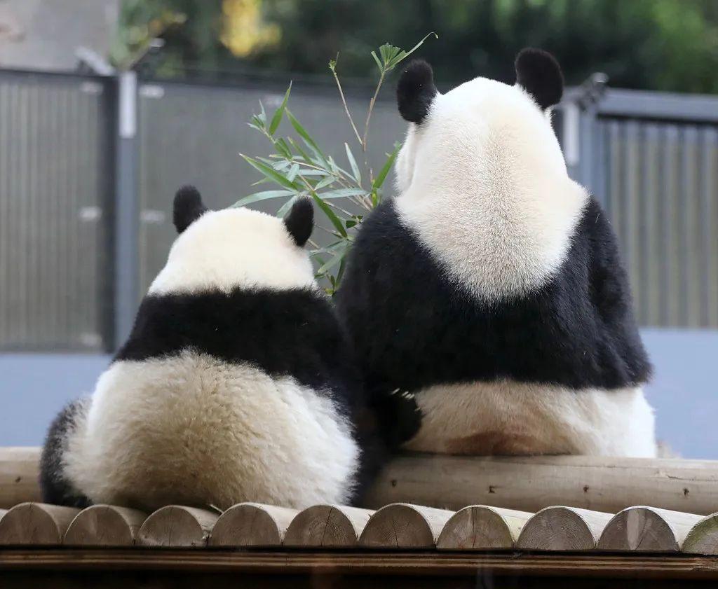 熊猫母女憨憨的背影