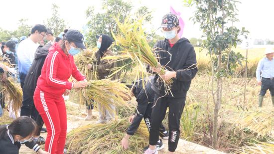 同学们在田间割稻谷。武汉大学生科院供图