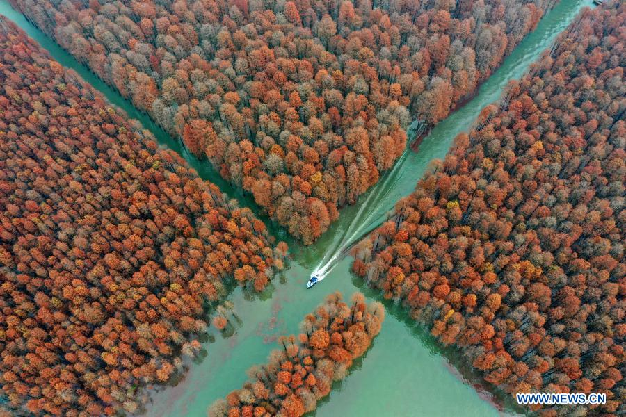 Aerial photo taken on Dec. 19, 2020 shows a high speed boat sailing amid pond cypress trees in Xiantao City, central China's Hubei Province. (Photo by Zhao Jun/Xinhua)
