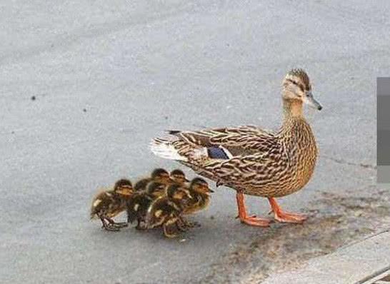 鸭妈妈带着孩子过马路,路过井盖后,鸭妈妈不淡定了