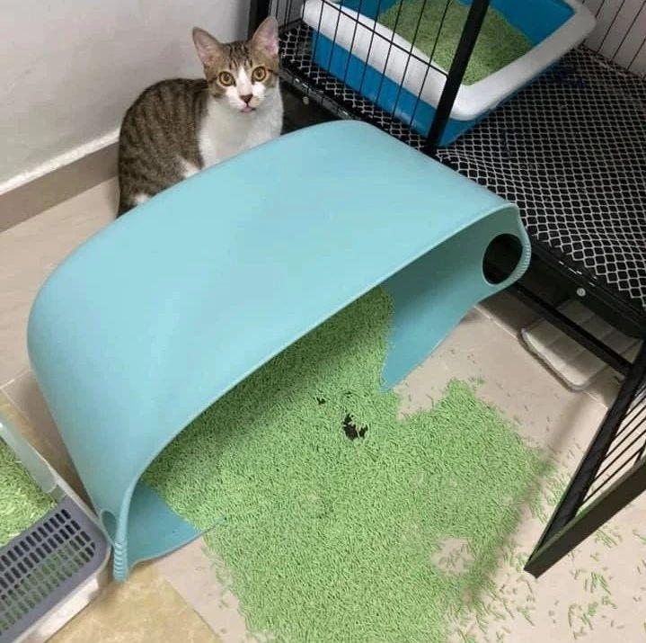 猫砂被打翻,房间一片凌乱,而却猫无所谓,甚至打起了哈欠!