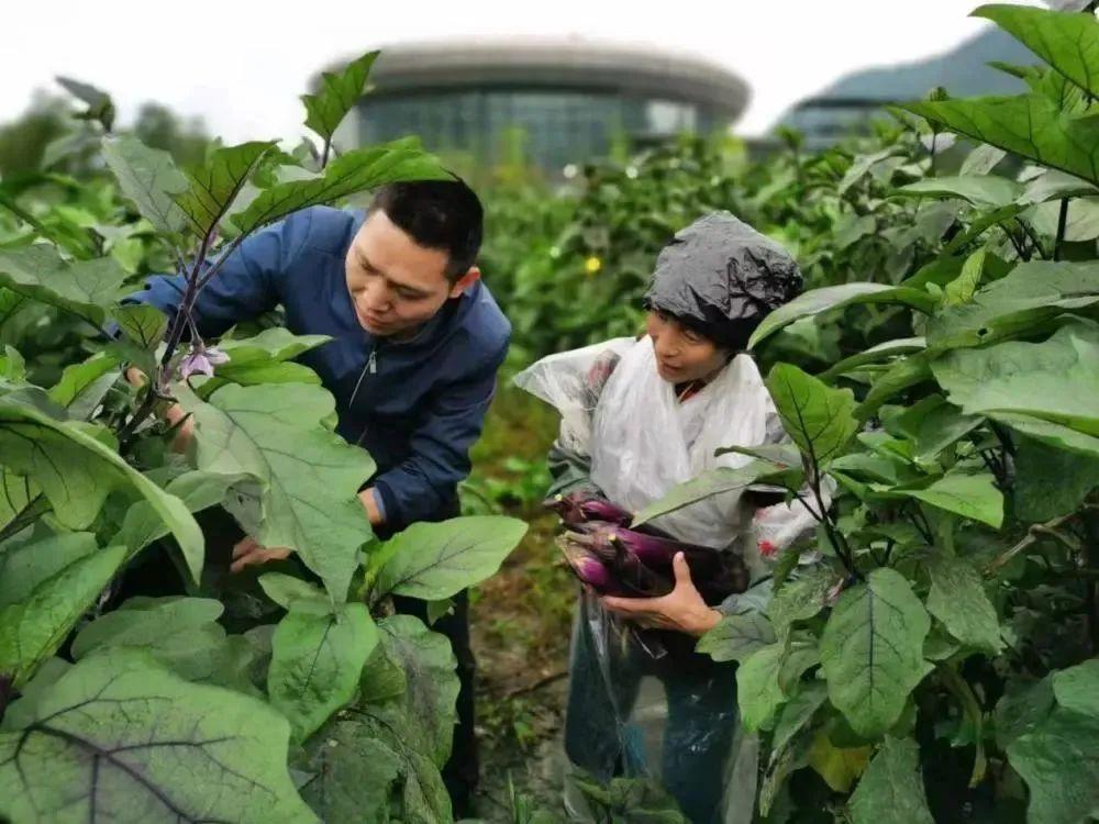 余永流(左)在田间帮助群众采收茄子