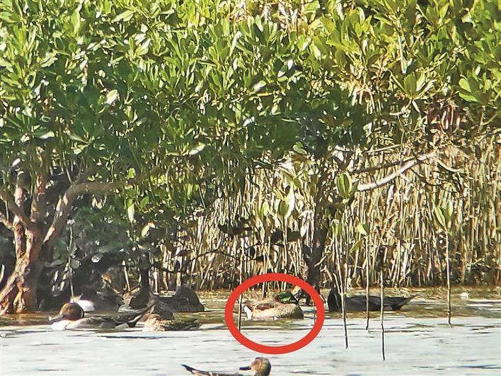 时隔两年,又有近危罗纹鸭来深作客