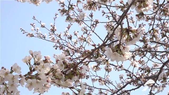 春回大地万物苏 潍坊的樱花海又来啦