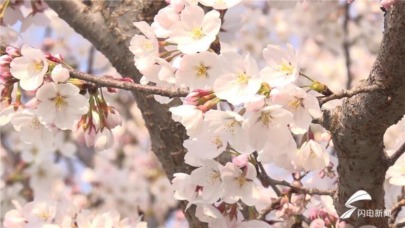 65秒|春回大地万物苏 潍坊的樱花海又来啦