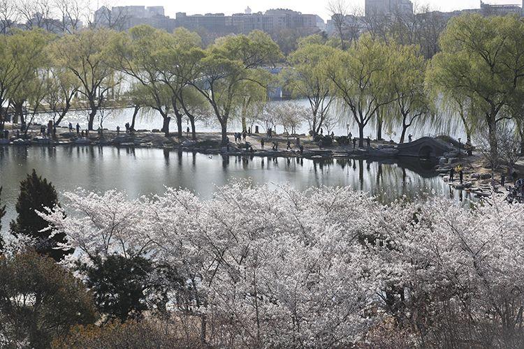 早樱、嫩柳与湖面交相辉映。