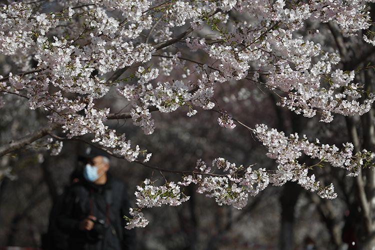 樱花园中时刻保持游客密度。