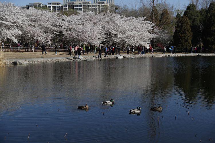 早樱湖边绽放,水鸟湖中畅游。