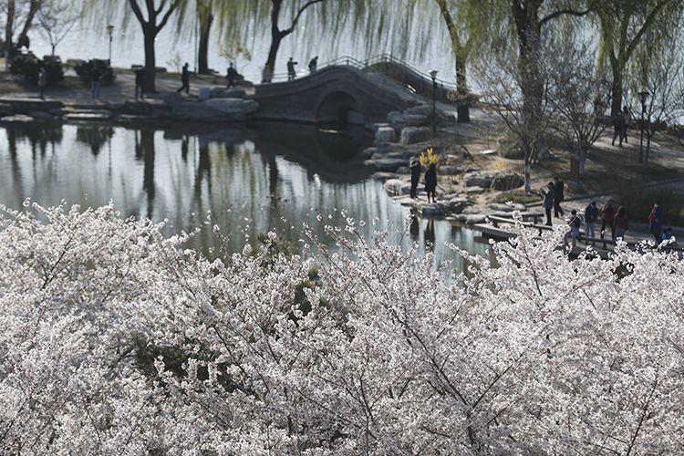早樱为春天再添姿色。