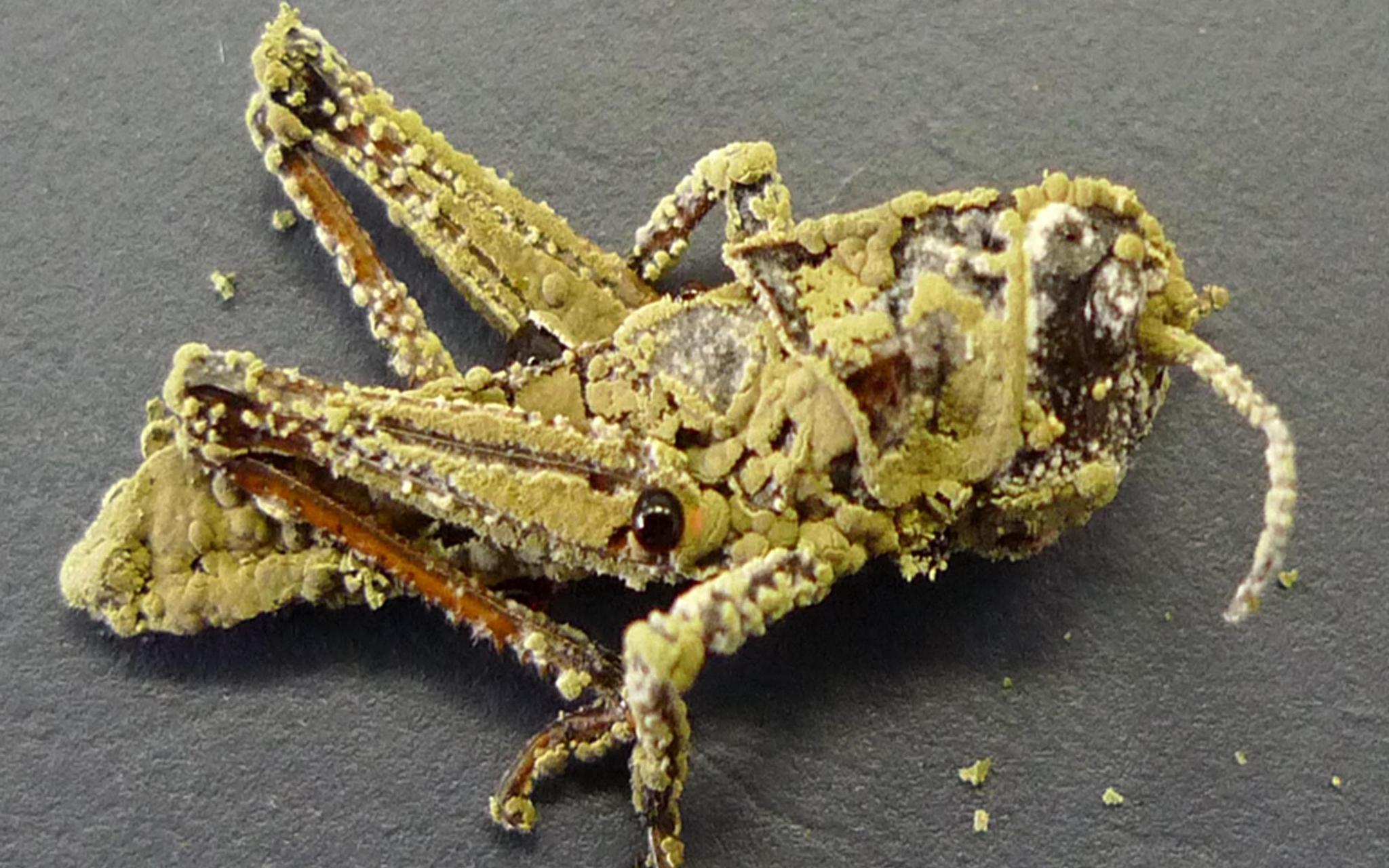 生物防治中被绿僵菌侵染的沙蝗。受访者供图