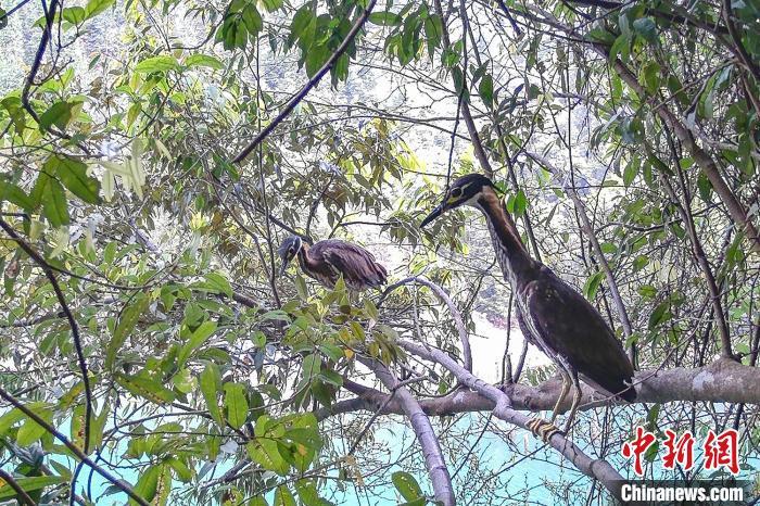 科研团队日前在广东南岭国家级自然珍惜区监测到海南虎斑鳽。 广东省林业局 供图