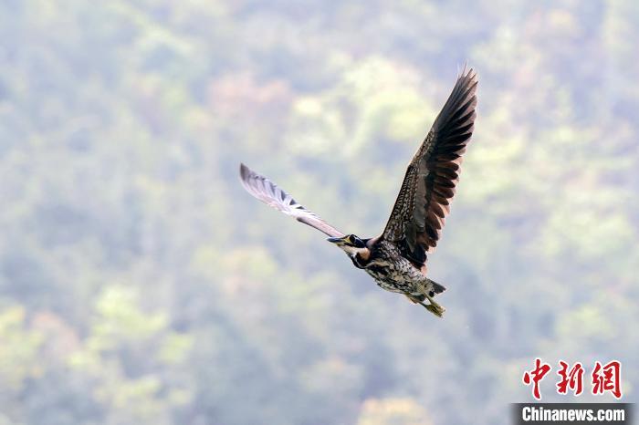 海南虎斑鳽在广东南岭国家级自然珍惜区上空遨游。广东省林业局 供图