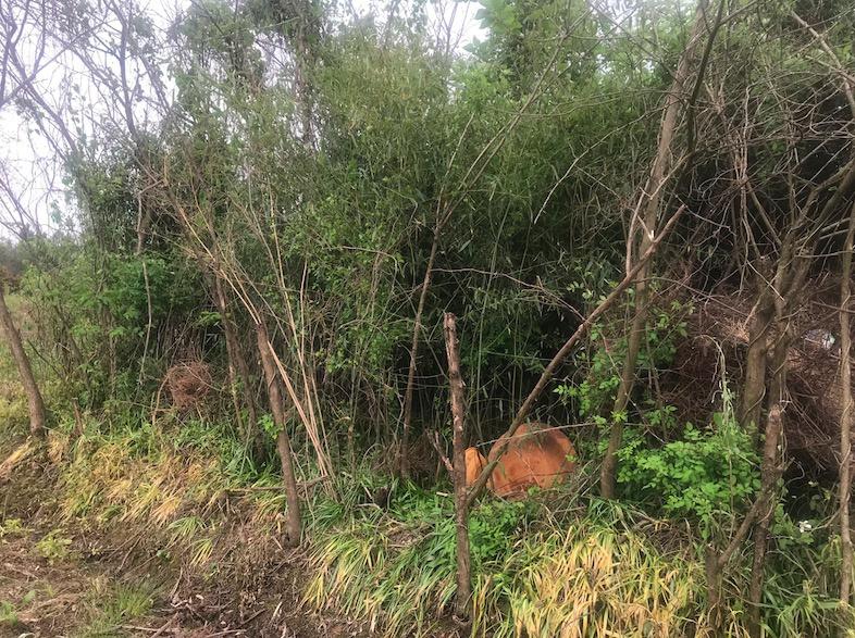 发现尸体的灌木丛。 新京报记者王昱倩摄