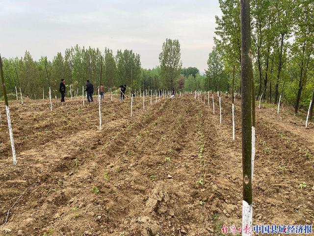 河南桐柏毛集镇:红薯种植助力群众增收致富