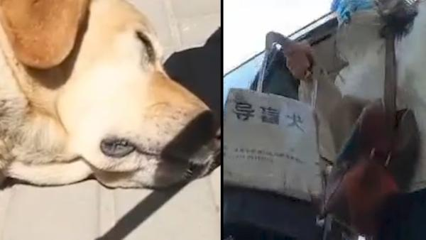 澎湃评论:别再让导盲犬委屈地哭了