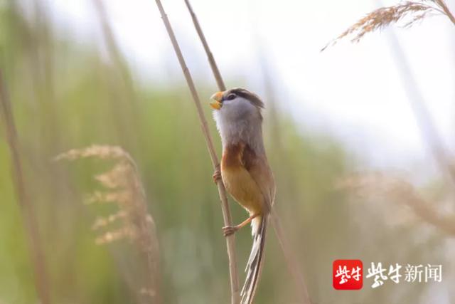 """""""鸟中大熊猫""""在江苏张家港市""""定居"""""""