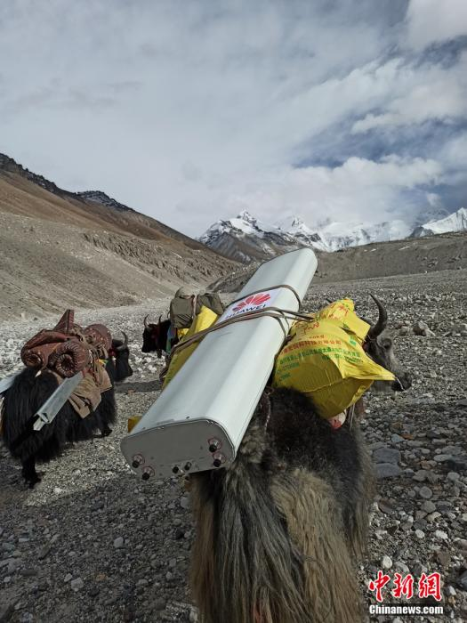 由于珠峰海拔5300米以上车辆无法通行,牦牛肩负起了运输5G基站设备的重任。华为供图