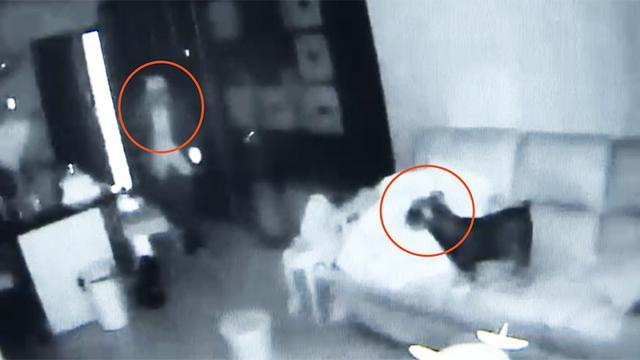 男子入室盗窃宠物狗全程安静围观 主人:再养一只会看家的