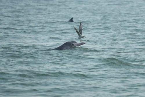 中华白海豚在湛江海域戏水