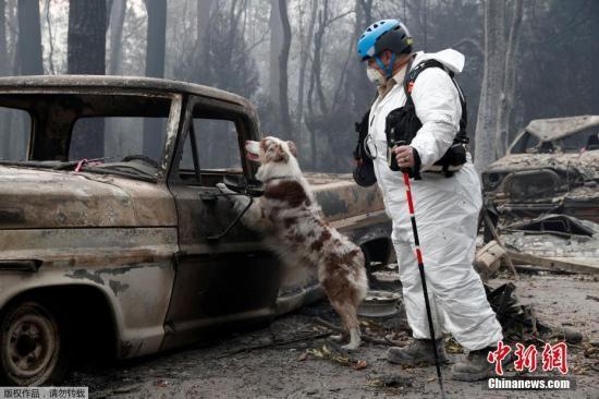 原料图:美国添州天国镇,做事人员和寻尸犬在被火销毁的社区追求人类遗骸。