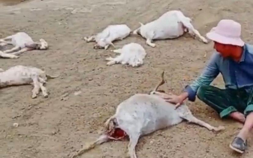 村民杨天学家51只羊被野狗咬死咬伤,还有马上生产的母羊也被咬死了。受访者供图
