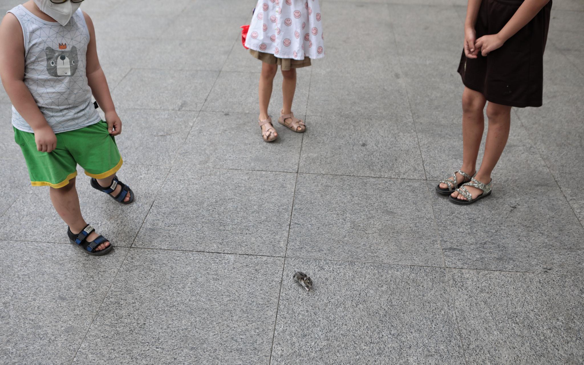 """被孩子们围观的仓鼠""""黑糖""""。   摄影/新京报记者 王嘉宁"""
