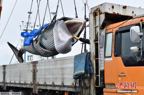 2019年7月1日,日本北海道钏路港,一头刚刚被捕获的小须鲸被起重机吊到卡车上前往鱼肉市场。