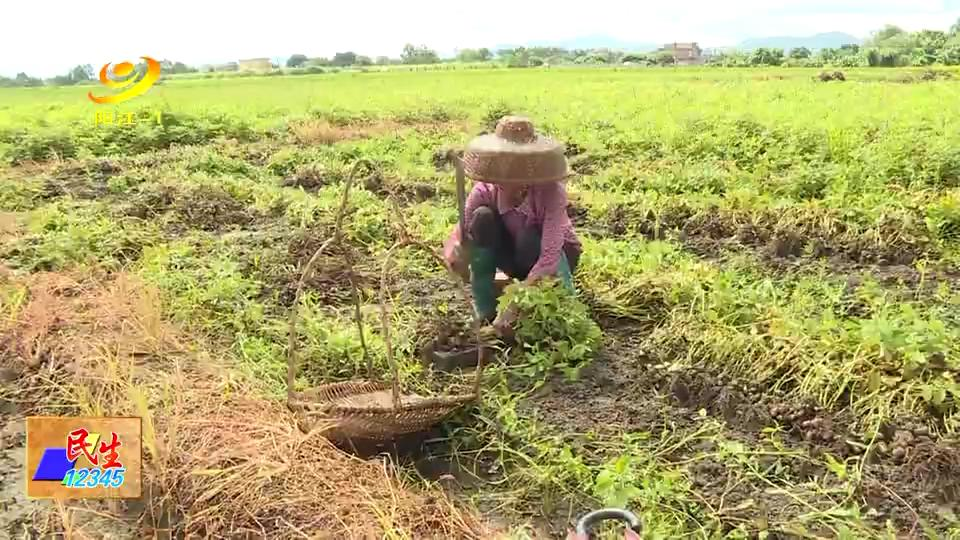 阳江:漠阳花大沟花生基地带动农户增收