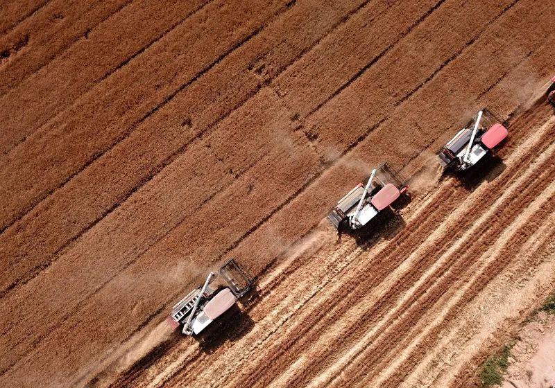 德州牛仔 小麦陆续收割,今年小麦产量、价格走势如何?