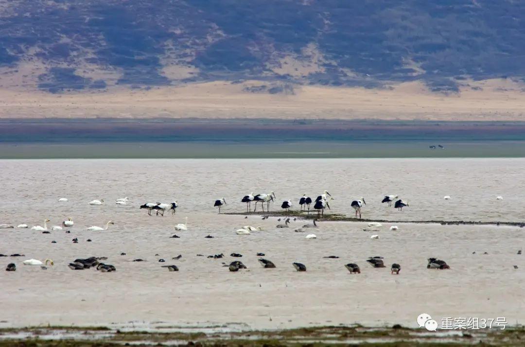 ▲鄱阳湖的白鹤栽群数目超过了全球总数的98%。受访者供图