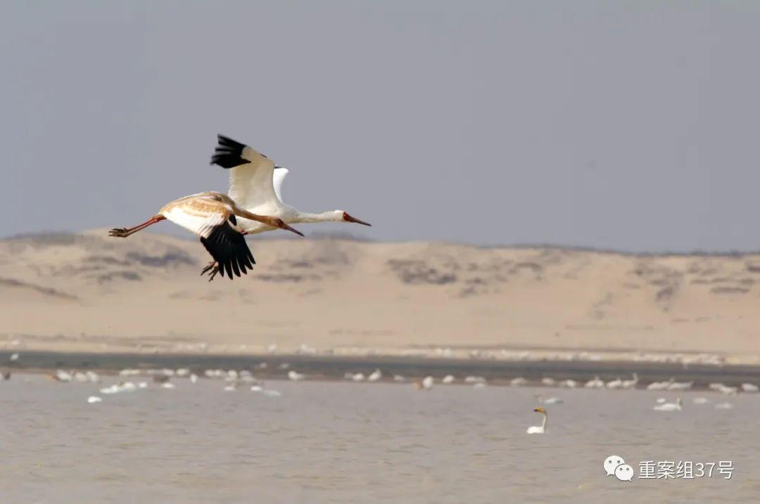 ▲湖区的白鹤。受访者供图