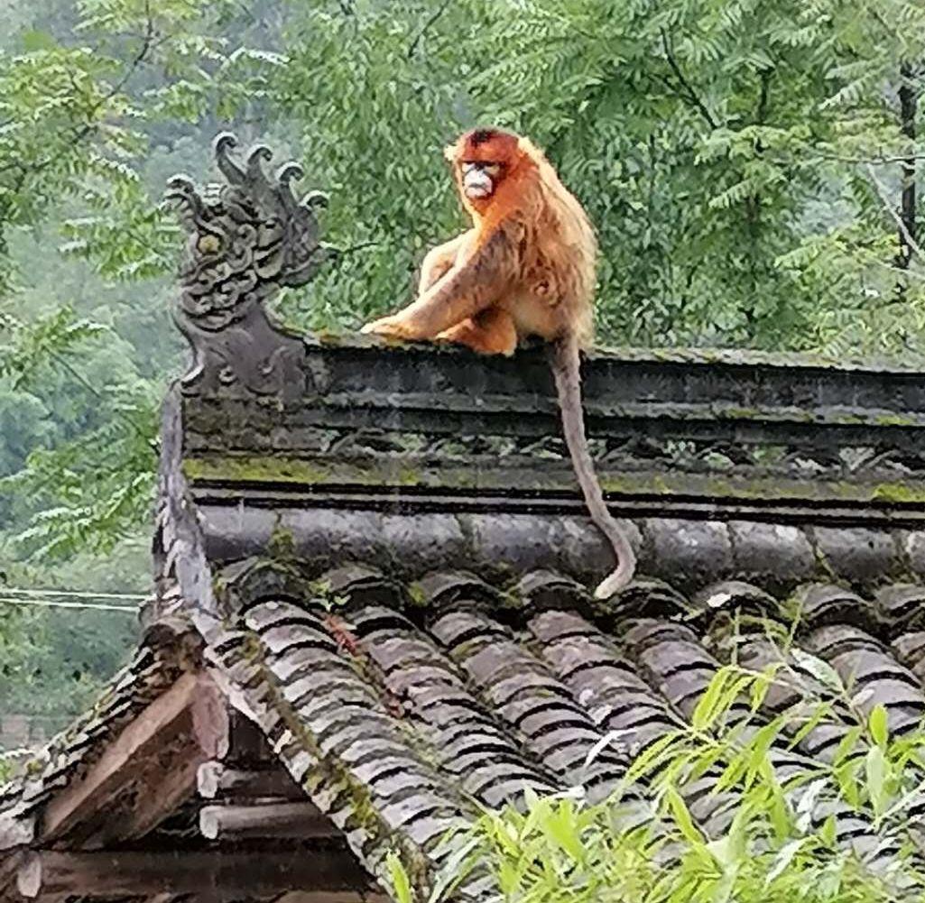 金丝猴进村觅食 当地镇林业办:每年都有 村民勿投喂