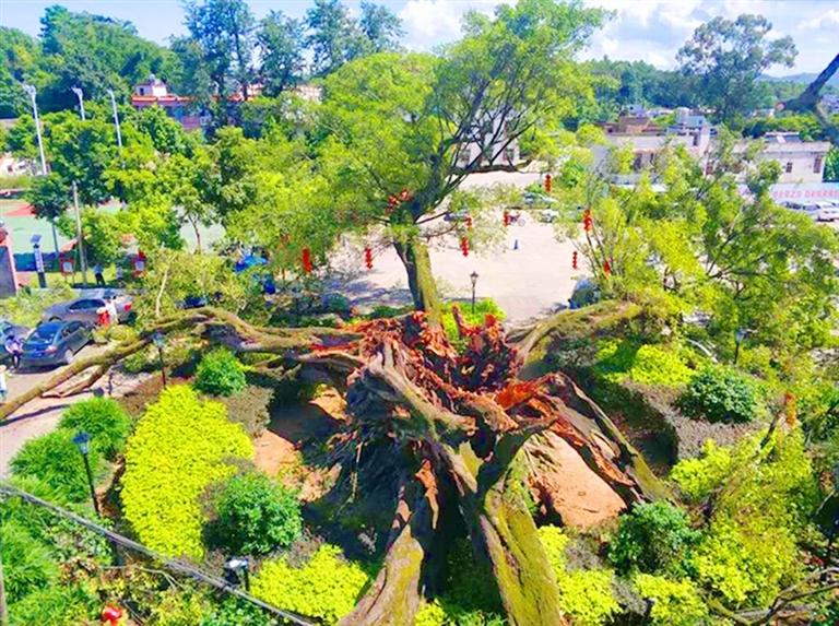 广东一棵850年古榕树倒塌 专家将进行保护性抢救(图)