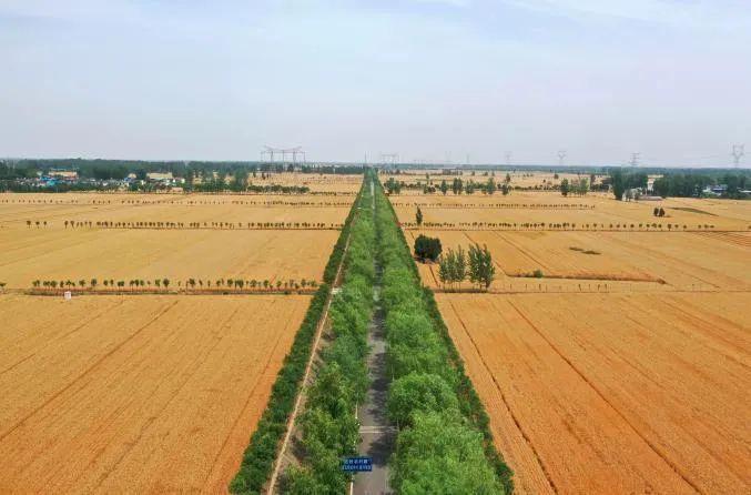 主产区夏粮小麦收购减少近千万吨 实际情况:农民惜售