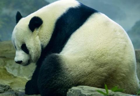 旅美大熊猫美香疑似怀孕最快本周生 美网友高兴坏了