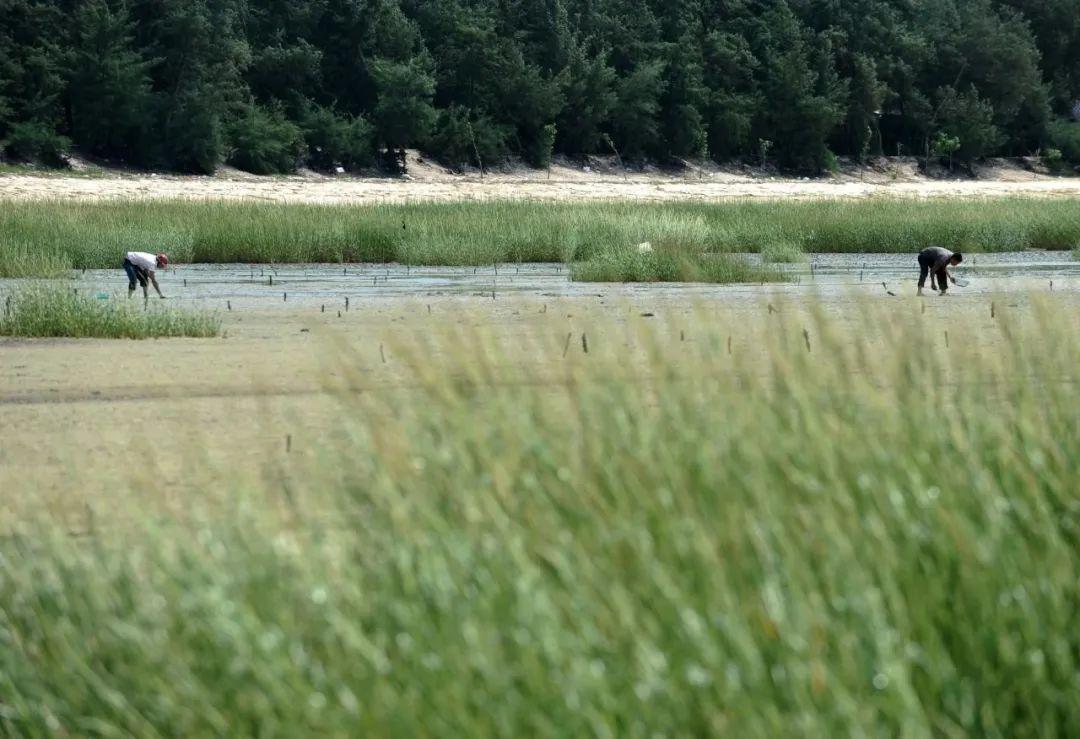 广西一滩涂遭外来植物互花米草入侵