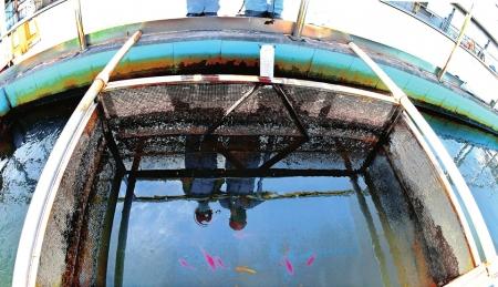 再生水能养鱼