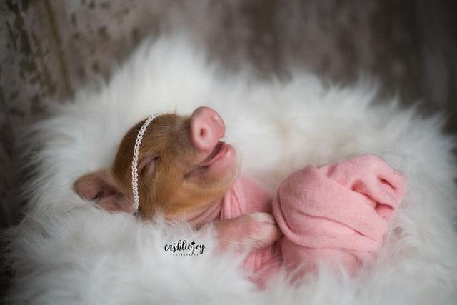 摄影师为新生的小猪拍写真,网友们的心都被暖化了