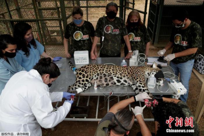 资料图:近日,巴西戈亚斯州,美洲豹在潘塔纳尔湿地的火灾中受伤,接受治疗。图为美洲豹Ousado接受治疗。