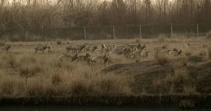 组图/江苏姜堰:溱湖湿地麋鹿欢