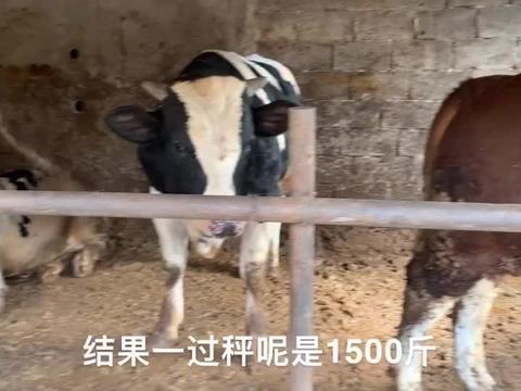 不会估计牛体重怎么办,看大叔用尺子怎么给牛量体重,这方法行吗